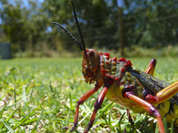 Serious Grasshopper 1