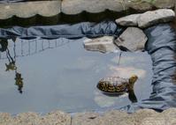 Eastern Box Turtles 3
