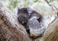Koalas at Mount Lofty, Adelaide