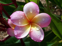 Frangipani Pink