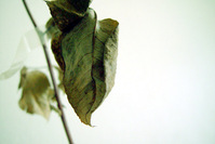 Rose variation 2