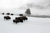 Winter Buffalo 2