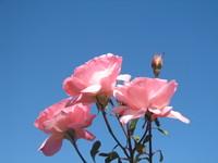 Pink Rose , Blue Sky