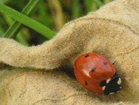 ladybug on fuzzy leaf