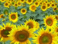Sunflower Field 3, France