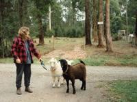 walking the goats