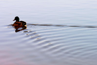 Duck in water 1