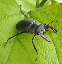 Bug-deer