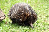 Echidna @ Australia Zoo 1