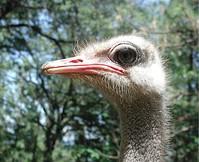 Chuck the Ostrich