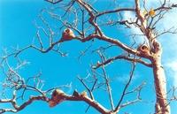 Joao-de-Barro nests