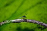 Eastern Pond Hawk Dragonfly