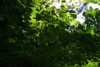 Leaves with sun