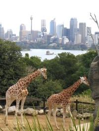 giraffes at sydney zoo