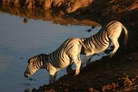 Thirsty Zebra 1