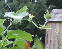 cucumber vine