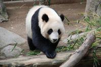 Panda bear 2