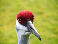 Sandhill Crane-Closeup 1