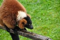 Red ruffed lemur 4