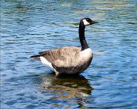 Canadian Goose 3