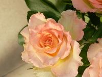 rose - salmon