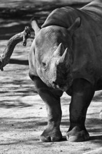 Rhino (B/W)