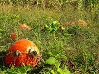 Field with pumpkins 2