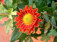 redyellow flower1