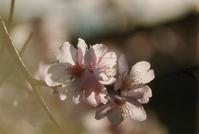 Almond blossoms 2