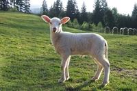 lamb 1