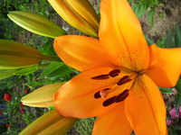 Orange Lily 2