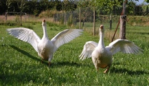 Geese 4