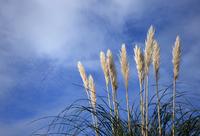 Pampas Grass 1