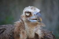 Panting Vulture