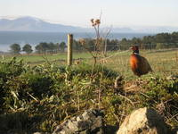 Pheasant in Snowdonia