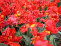 Fringed red tulips