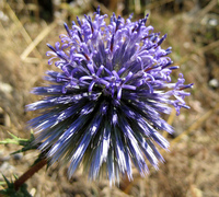 purple spike flower