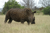 Leppard spotted Rino