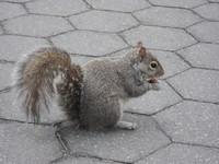 New York Squirrel 4