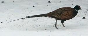 Pheasant on Snow