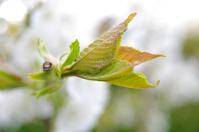 fresh leaf 1