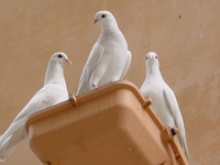 three doves 1
