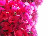 SF: Pink Flowers 02