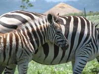 Zebra in Africa 2