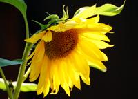 The Flower-Princess meets the Sun