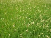 Grasswaves