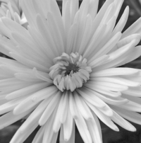 Flower in B/W