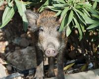 Small wild boar