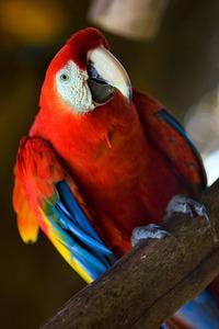 Araras Vermelhas - red Brazilian Macaws 5