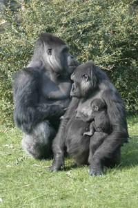 Gorillla family
